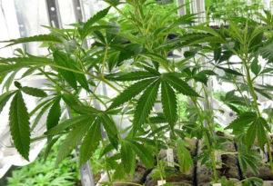 Prodotti per la cannabis Legale a Milano